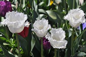 Picture Closeup Tulips White Flowers