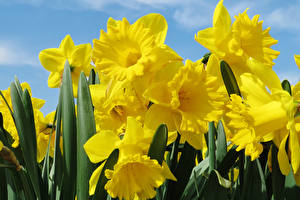 Wallpaper Narcissus Closeup Yellow Flowers
