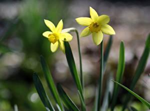 Hintergrundbilder Narzissen 2 Gelb Blumen