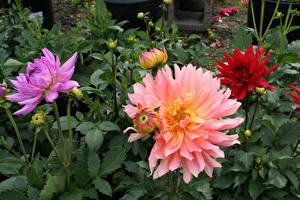 Fotos & Bilder Dahlien Großansicht Knospe Blumen