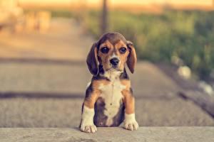 Photo Dog Beagle Puppy Paws Animals