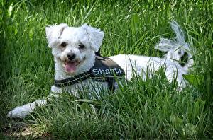 Image Dogs Grass Lying down Tongue Bichon Frise Animals