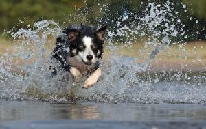 Bilder Hund Border Collie Lauf Wasser spritzt