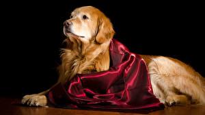 Fotos Hunde Golden Retriever Schwarzer Hintergrund Tiere