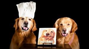 Fotos Hunde Golden Retriever Schwarzer Hintergrund Retriever