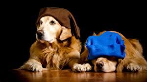 Fotos Hunde Golden Retriever Retriever Zwei Mütze Schwarzer Hintergrund