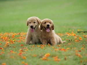Bilder Hund Golden Retriever Zwei Gras Welpe Zunge