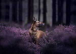 Wallpaper Dogs Shepherd Belgian Shepherd Malinois