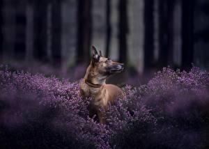 Bilder Hunde Shepherd Belgischer Schäferhund Malinois