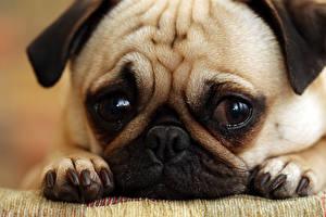 Hintergrundbilder Hunde Welpe Schnauze Mops (Hunderasse) Pfote ein Tier