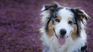 Wallpapers Dogs Snout Tongue Aussie dog Staring
