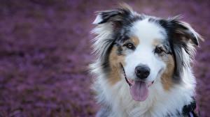 Hintergrundbilder Hunde Schnauze Zunge Australian Shepherd Starren