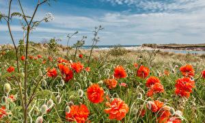 Fotos England Küste Mohn Blütenknospe Northumberland Alnmouth village Natur