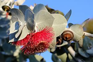 Fotos Blatt Rot Eucalyptus Blumen