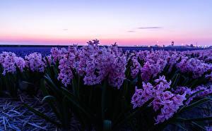 Hintergrundbilder Acker Hyazinthen Rosa Farbe Blumen