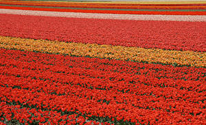 Wallpapers Fields Tulips Many Netherlands Lisse