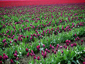 Hintergrundbilder Felder Tulpen Viel Bordeauxrot Blumen