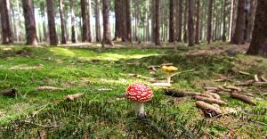 Desktop hintergrundbilder Wälder Pilze Natur Wulstlinge Laubmoose Natur