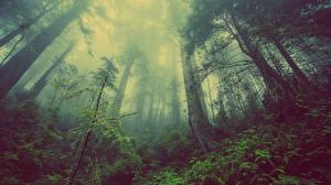 Pictures Forests Trees Fog