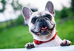 Bilder Französische Bulldogge Hunde Großansicht Pfote Kopf Starren Schnauze Tiere