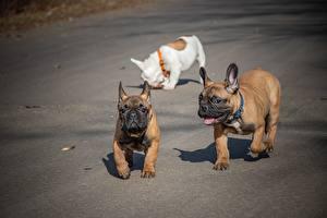 Bilder Französische Bulldogge Hunde Drei 3 Komische