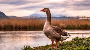 Bilder Gänse Vogel Tiere