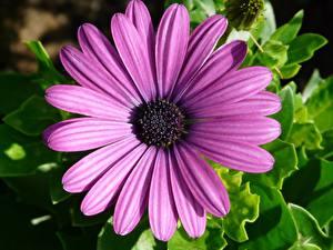 Bilder Gerbera Hautnah Kronblätter Violett