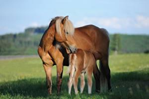 Hintergrundbilder Pferde Babys Gras 2 Tiere