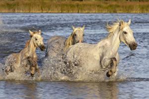 Images Horse Three 3 Water splash Running White Animals