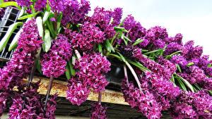 Bilder Hyazinthen Violett Blumen