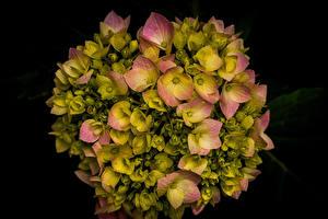 Fotos Hortensie Großansicht Schwarzer Hintergrund Blüte