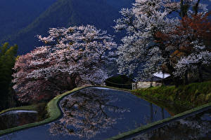 Pictures Japan Kyoto Parks Spring Flowering trees Pond