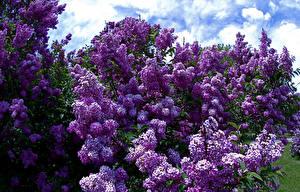 Bilder Syringa Violett Blumen