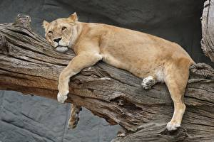 Wallpapers Lions Lioness Lying down Glance Paws