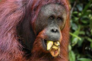 Bilder Affen Bananen Schnauze