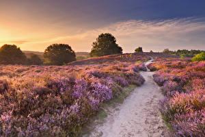 Bakgrundsbilder på skrivbordet Nederländerna En åker Soluppgångar och solnedgångar Lavendlar Gångstig Natur