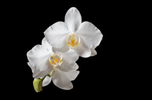 Wallpapers Orchid Closeup Black background White Flowers