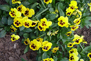 Wallpapers Pansies Closeup Yellow Flowers pictures images