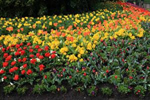 Picture Parks Spring Tulips Primula Viola tricolor St James Park Flowers