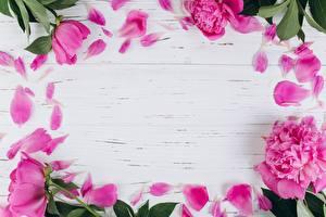 Papéis de parede Paeonia Pétalas Cartão do molde Cor-de-rosa Flores
