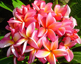 Fotos Frangipani Nahaufnahme Rosa Farbe Blumen
