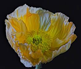 Hintergrundbilder Mohn Nahaufnahme Schwarzer Hintergrund Gelb Blumen