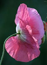 Hintergrundbilder Mohn Nahaufnahme Rosa Farbe Blumen