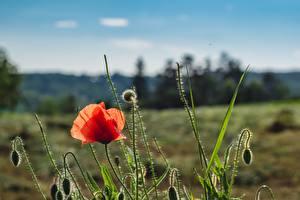 Hintergrundbilder Mohn Rot Blütenknospe Blumen