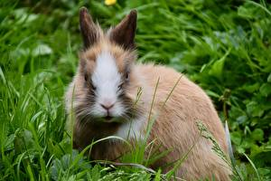 Pictures Rabbits Grass Staring Dwarf Rabbit