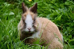 Фотографии Кролик Траве Смотрит Dwarf Rabbit Животные