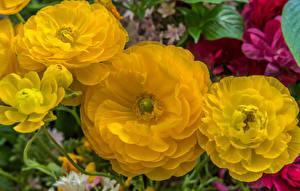 Wallpapers Ranunculus Closeup Yellow Flowers