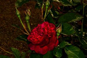 Hintergrundbilder Rose Großansicht Knospe Rot Blumen
