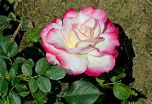 Images Roses Closeup Leaf Flowers