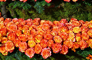 Pictures Roses Many Orange Flowers